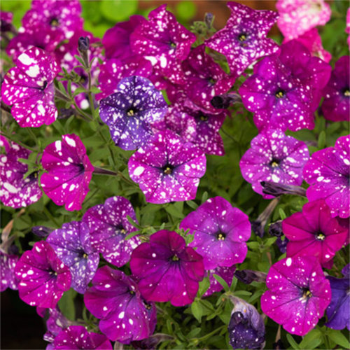 Petunia F1 'Dot Star Dark Violet'
