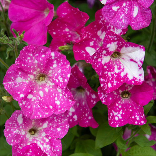 Petunia F1 'Dot Star Deep Pink'