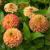 Isotsinnia, iso-oppineittenkukka 'Queeny Lime Orange'